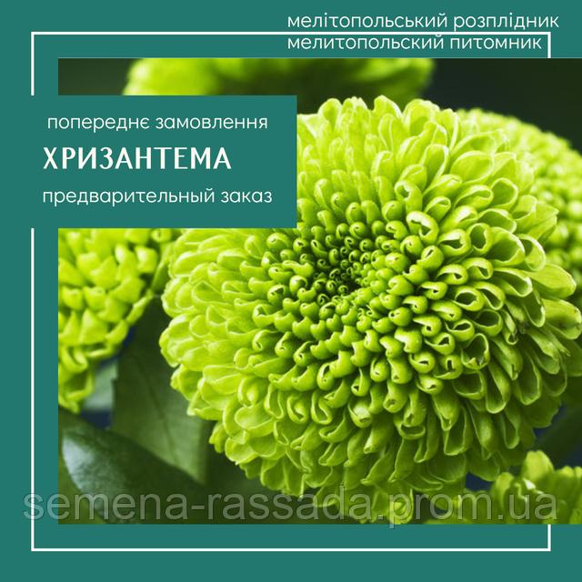 Хризантема черенок предварительный заказ