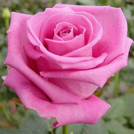 Роза ч/г Аква, фото 2