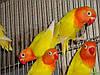 Неразлучники. Наверное это единственная птица с такой богатой цветовой гаммой. Эти все фото взяты с разных сайтов, чтобы показать Вам всю красоту этих птиц. И такие бывают.