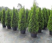 Живые изгороди и крупномерные деревья