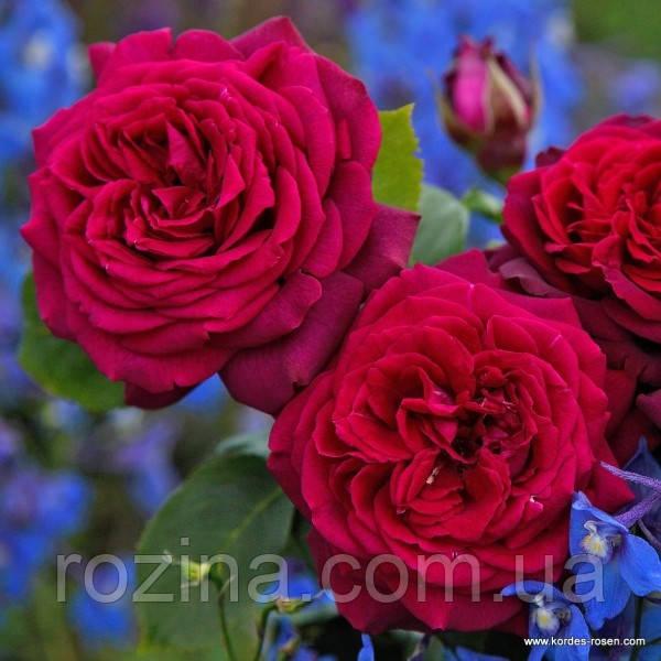 """Саджанці троянди """"Графиня Диана"""""""