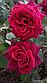 """Саджанці троянди """"Графиня Диана"""", фото 2"""