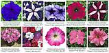 Семена цветов Петуния Тритуния 1000 др. (Syngenta), фото 4