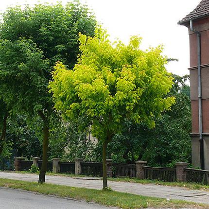 """Клен """"Auratum"""", Штамб 1,4-1,6 м (С5), фото 2"""