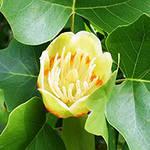 Тюльпановое дерево - Лириодендрон