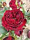 Майрас Ред  (Mayra's Red), фото 6