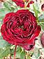 Майрас Ред  (Mayra's Red), фото 2