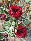 Майрас Ред  (Mayra's Red), фото 8
