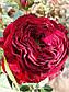 Майрас Ред  (Mayra's Red), фото 4