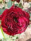 Майрас Ред  (Mayra's Red), фото 5