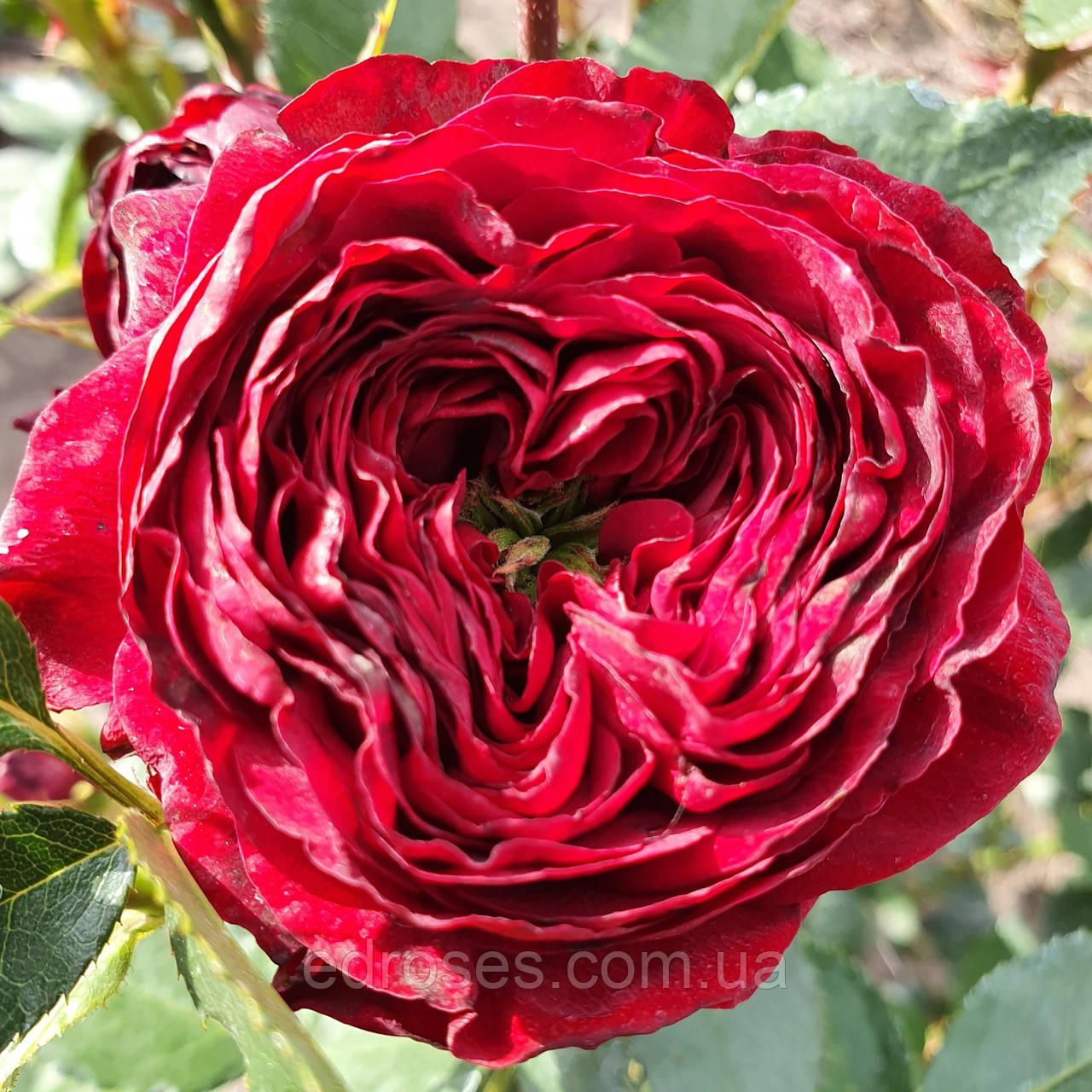 Майрас Ред  (Mayra's Red)