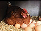Яйцо Фарма Колор, фото 2