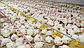 КОББ 500 бройлер яйца инкубационные, фото 7