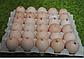 КОББ 500 бройлер яйца инкубационные, фото 9