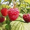 Натуральное малиновое варенье без сахара 0.5 л. домашнее, без консервантов,, фото 2