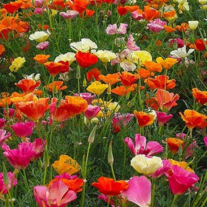 Ешольція Каліфорнія, суміш насіння (Hem Zaden BV)