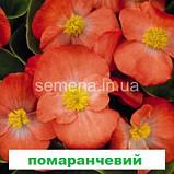 Бегонія Спрінт Плюс F1 (колір на вибір) 200 шт., фото 6
