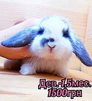 """Карликовый вислоухий кролик,порода """"Вислоухий баранчик"""",окрас """"Бело-голубой"""",возраст 1,5мес.,девочка"""