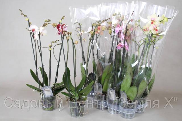 Фаленопсис 2 цветоноса