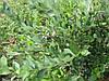 Выращивание голубики - советы специалистов