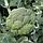 Капуста брокколи Стирлинг F1   Stirling F1 Clause 2500 шт, фото 2