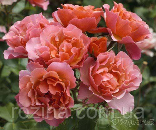 "Саджанці троянди ""Жан Кокто"""