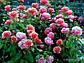 """Саджанці троянди """"Жан Кокто"""", фото 4"""