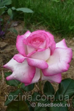 """Саджанці троянди """"Юлия"""""""