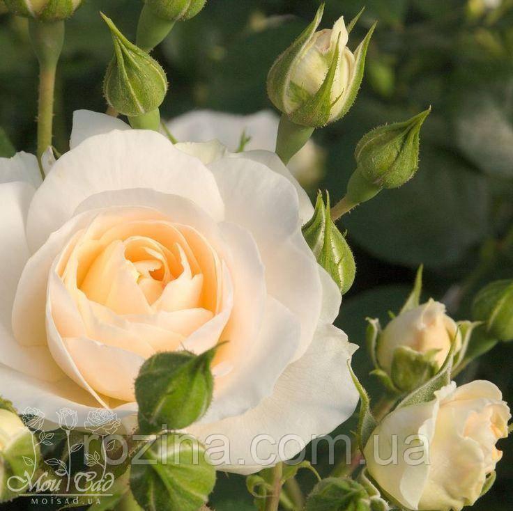 """Саджанці троянди """"Мартин Лютер"""""""