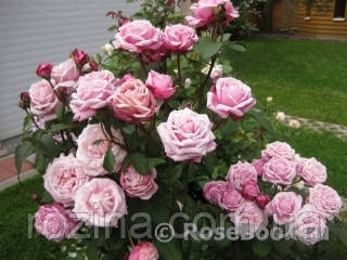 "Саджанці троянди ""Дитер Мюллер"""