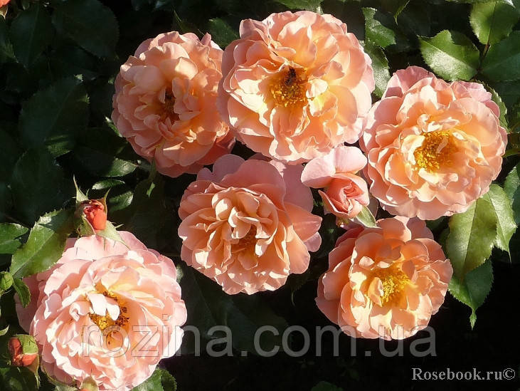 Саженцы розы Мария Кюри