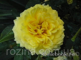 Роза Toulouse-Lautrec