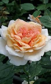"""Саджанці троянди """"Гроссгерцогиня Луиза"""""""
