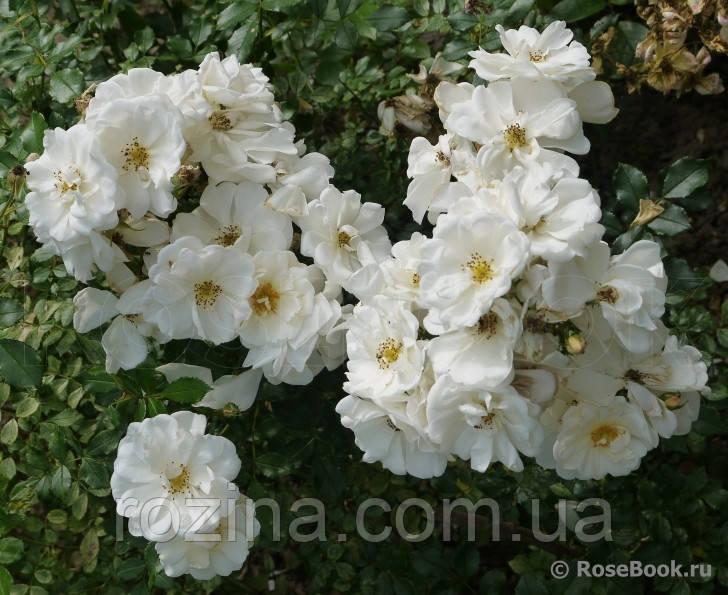 """Саджанці троянди """"Диамант"""""""
