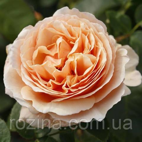 """Саджанці троянди """"Тропикана"""""""