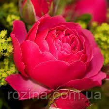 """Саджанці троянди """"Магик Рококо"""""""