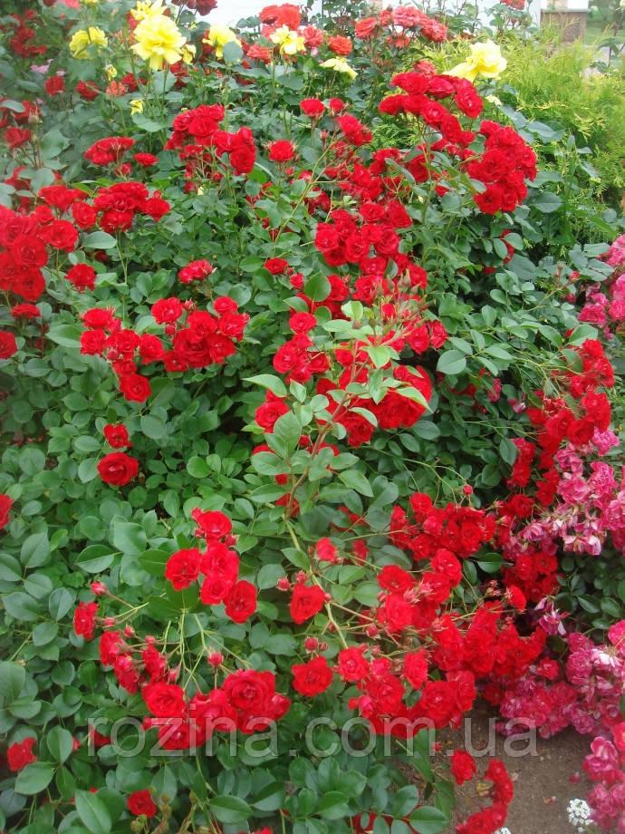 Саженцы розы Скарлет мейдиланд