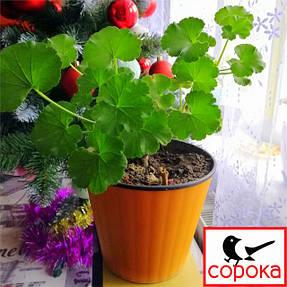 """Вашій увазі - серія «Ібіс» української ТМ """"Алеана"""", яка чудово підходить для фіалок, кактусів і інших дрібних рослин."""