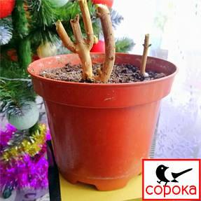 Серія вазонів для розсади (кашпо) Алеана складається з 6 розмірів горщиків для розсади круглих. Основним призначенням горщиків є вирощування та висадка розсади квітів, садових рослин або овочів.