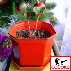 На фото: вазон Алеана Дама 8*8см 0,3 л. Основним призначенням горщиків Дама є вирощування рослин з невеликою кореневою системою, наприклад фіалок, спатифиллум, фуксії.