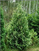 Туя західна smaragd light 4 річна, туя западная смарагд лайт, thuja occidentalis smaragd light, фото 2