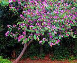 Баухинія строката (орхідейне дерево) (V) 3 насінини (розфасовано з профупаковки), фото 2