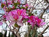 Баухинія строката (орхідейне дерево) (V) 3 насінини (розфасовано з профупаковки), фото 4
