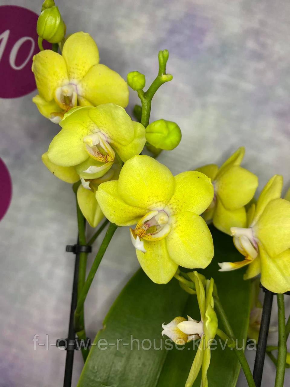 Орхидея Arezzo