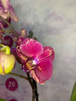 Орхидея Шикарная интрига, фото 2