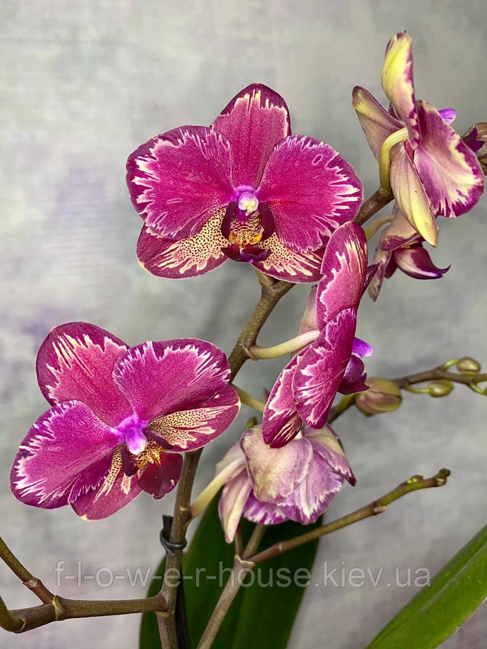 Орхидея Шикарная интрига