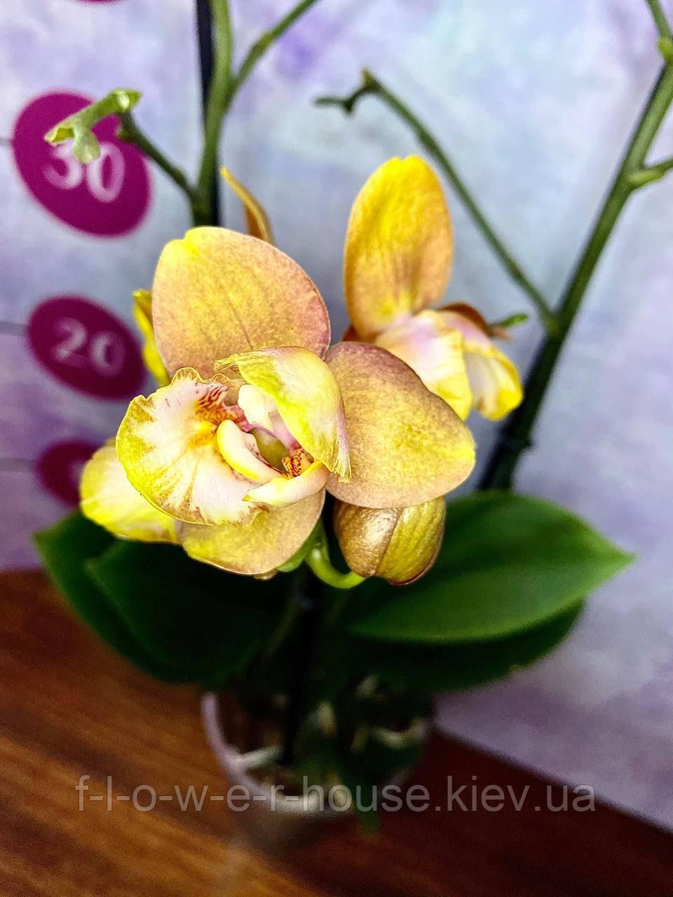 Орхидея Лас вегас пелор