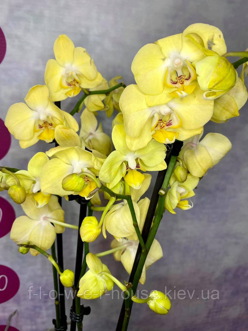 Орхидея Желтое облачко