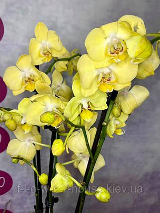 Орхидея Желтое облачко, фото 2