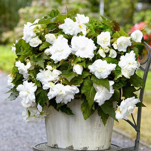 Бегония ампельная с гигантскими цветками Белая 1 клубень